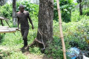 A worker cuts the bark of a rubber tree on a plantation of US company Firestone in Harbel, Liberia, on October 17, 2016 ©Zoom Dosso (AFP)